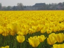 Tulips_The_Netherlands