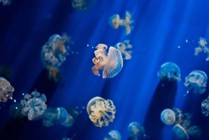 Jelly Fish - RaDu GaLaN